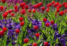 tulips 757144 1280